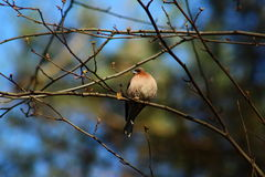 Fringilla coelebs in the forest Stock Image