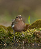 Common chaffinch (Fringilla coelebs) Royalty Free Stock Photos