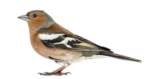 Common Chaffinch, isolated - Fringilla coelebs. Common Chaffinch, isolated on white - Fringilla coelebs royalty free stock photography