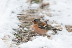 Common chaffinch (male) in winter Royalty Free Stock Photography
