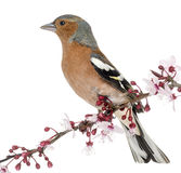 Common Chaffinch perched on branch, isolated on white Royalty Free Stock Photos