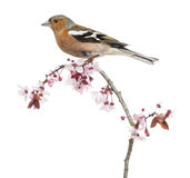 Common Chaffinch perched on branch, isolated on white. Fringilla coelebs stock image
