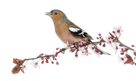 Common Chaffinch perched on branch, singing, isolated on white Stock Image