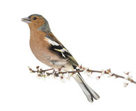 Common Chaffinch perched on branch, whistling Royalty Free Stock Photos