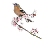 Common Chaffinch perched on Japanese cherry branch, tweetin Stock Images