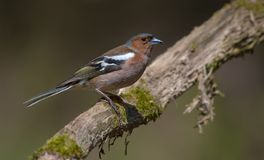 Common Chaffinch sits on old looking dry stick royalty free stock images