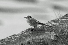 Common chaffinch in profile. A closeup profile picture of a common chaffinch in black and white Stock Images