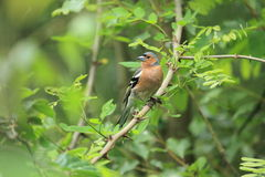 Common chaffinch Royalty Free Stock Image