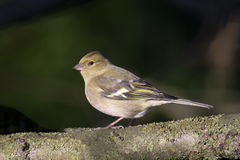 Common chaffinch. Sitting on a branch in evening sun royalty free stock photography