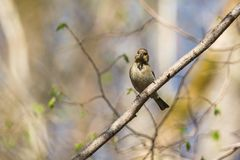 Common Chaffinch Royalty Free Stock Photo