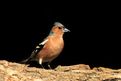 Common chaffinch sitting on a stump   black background. Common chaffinch sitting on a stump on a black background,songbird, forest bird Stock Photo