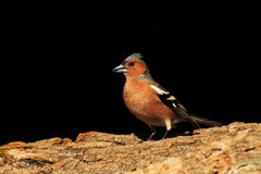 Common chaffinch sitting on a tree   black background. Common chaffinch sitting on a tree on a black background,songbird, forest bird Royalty Free Stock Images