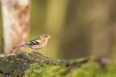 Common chaffinch sitting on wood trunk in forest with bokeh background and saturated colors, Hungary, songbird in nature. Forest lake habitat, cute small royalty free stock photography