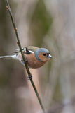 Common chaffinch on a small branch vertical image. Common chaffinch on the branch with natural blured forest background, vertical image with copy space Stock Photography