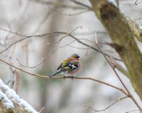 Common chaffinch in the snow. In a tree branch looking around Royalty Free Stock Photography