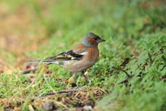 Common chaffinch Stock Image