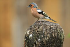 Common chaffinch Royalty Free Stock Photography