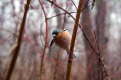 Common chaffinch winter. Royalty Free Stock Photography