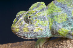 Common Chameleon Royalty Free Stock Photos