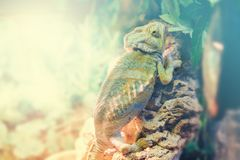 Common Chameleon on a branch of tree in nature close up. Common Chameleon on a branch of tree in nature close-up Stock Photo