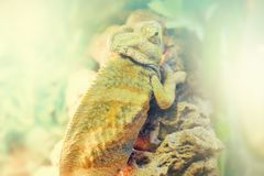 Common Chameleon on a branch of tree in nature close up. Common Chameleon on a branch of tree in nature close-up Stock Images