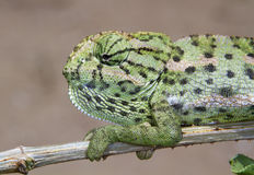 Common chameleon or Mediterranean chameleon (Chamaeleo chamaeleon) portrait. Royalty Free Stock Photos