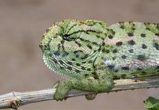 Common chameleon or Mediterranean chameleon (Chamaeleo chamaeleon) portrait. Common chameleon or Mediterranean chameleon (Chamaeleo chamaeleon), Beer-Sheva Royalty Free Stock Photos