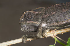 Common chameleon or Mediterranean chameleon (Chamaeleo chamaeleon) portrait. Royalty Free Stock Images