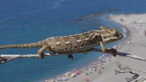 Common chameleon stock video