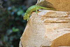 Common chameleon Stock Photos