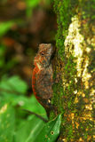 Common Chameleon on tree. In rainforest northeast of thailand Royalty Free Stock Photo