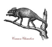 Common chameleon XIX century engraving Stock Photos