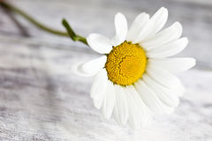 Common chamomile flowers on wooden table Royalty Free Stock Photo