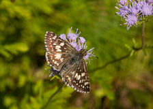Common Checkered Skipper. A beautiful Common Checkered Skipper butterfly nectars on a flower in a South Carolina garden Royalty Free Stock Photography
