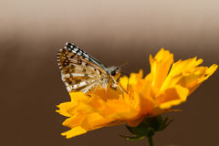 Common Checkered Skipper on Coreopsis Stock Photos