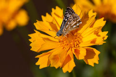 Common Checkered Skipper on Coreopsis Stock Photo