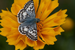 Common Checkered Skipper on Coreopsis. A Common Checkered Skipper takes nectar on the yellow flower of a Coreopsis, also known as Tickseed, beside an adobe wall Royalty Free Stock Photos