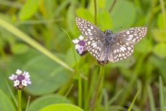 Common Checkered Skipper or White-Checkered Skipper stock photo