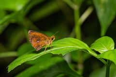 Common Chestnut Bob butterfly Royalty Free Stock Image