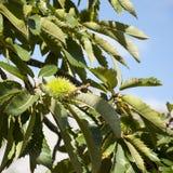 Common chestnut tree - Castanea sativa Stock Photo