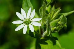 Common Chickweed - Stellaria media. Close up of a white Common Chickweed flower. Also known as Chickenwort, Craches, Maruns, and Winterweed. Taylor Creek Park Stock Images