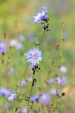 Common chicory Stock Photography
