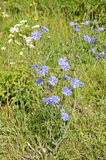 Common chicory, Cichorium intybus, in flower Royalty Free Stock Photo