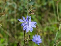 Common Chicory, Cichorium intybus, flower with blurred background macro, selective focus, shallow DOF.  stock photo