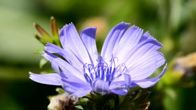 Common chicory, Cichorium intybus, flower of the food and medicinal plant. In Germany stock video