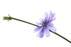 Common chicory (Cichorium intybus) Royalty Free Stock Image