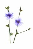 Common chicory (Cichorium intybus) Royalty Free Stock Photos