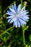Common Chicory Royalty Free Stock Images