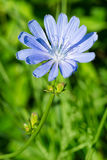 Common Chicory Royalty Free Stock Photos