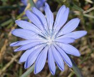 Common chicory Stock Image